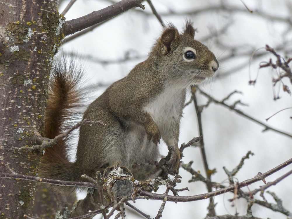 squirrel-300223_1920